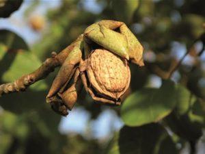 manger des noix
