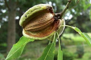 amande-fruit