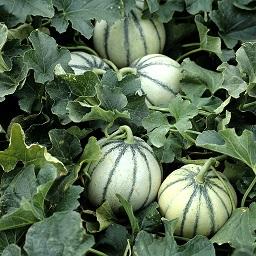 les-melons